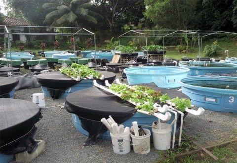 Acuaponia una opci n hol stica ecolog a y medio ambiente for Piscina para criar peces