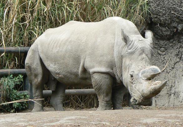 solo quedan 5 rinocerontes blancos en el mundo
