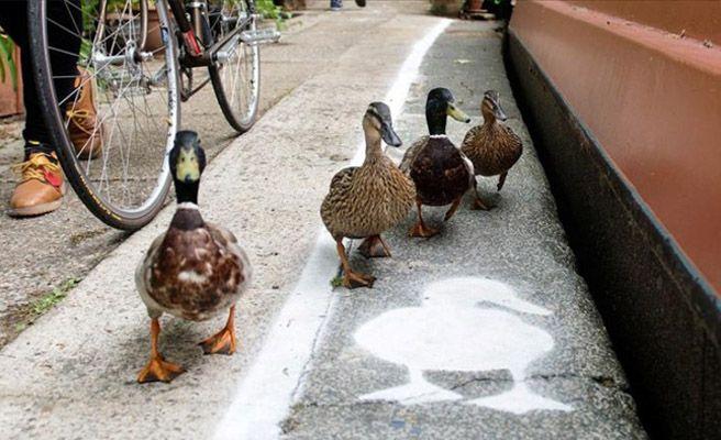 Carril para patos