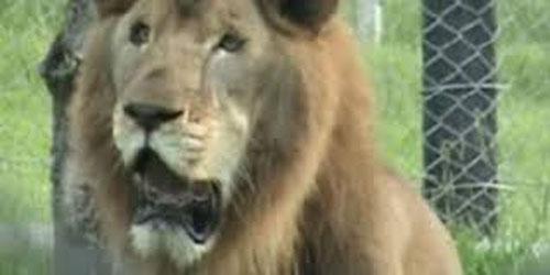 León liberado después de 13 años enjaulado